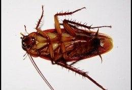 cockroach-260x177.jpg